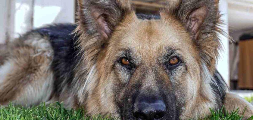 ¿A qué edad es un perro adulto?