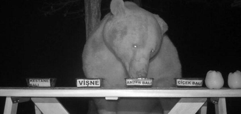 Un apicultor convierte a unos osos en sus catadores tras descubrir le robaban la miel