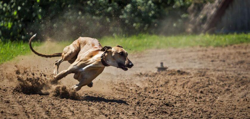 ¿Cuáles son las razas de perros más rápidos?
