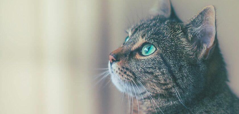 Los principales síntomas de cáncer en gatos