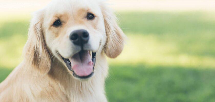 Razones por las que un perro se lame mucho